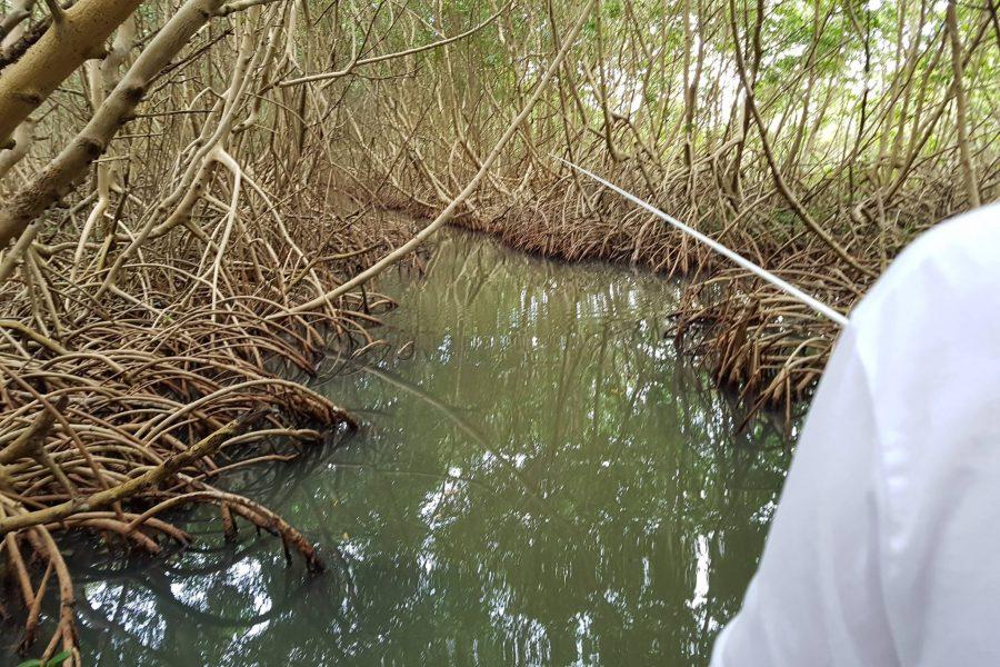Pêche à vue des babys Tarpons entres les racines de la mangrove !!!