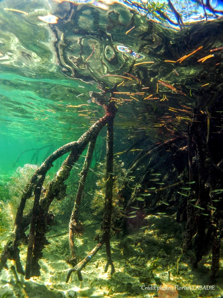 Fish fry in mangrove roots