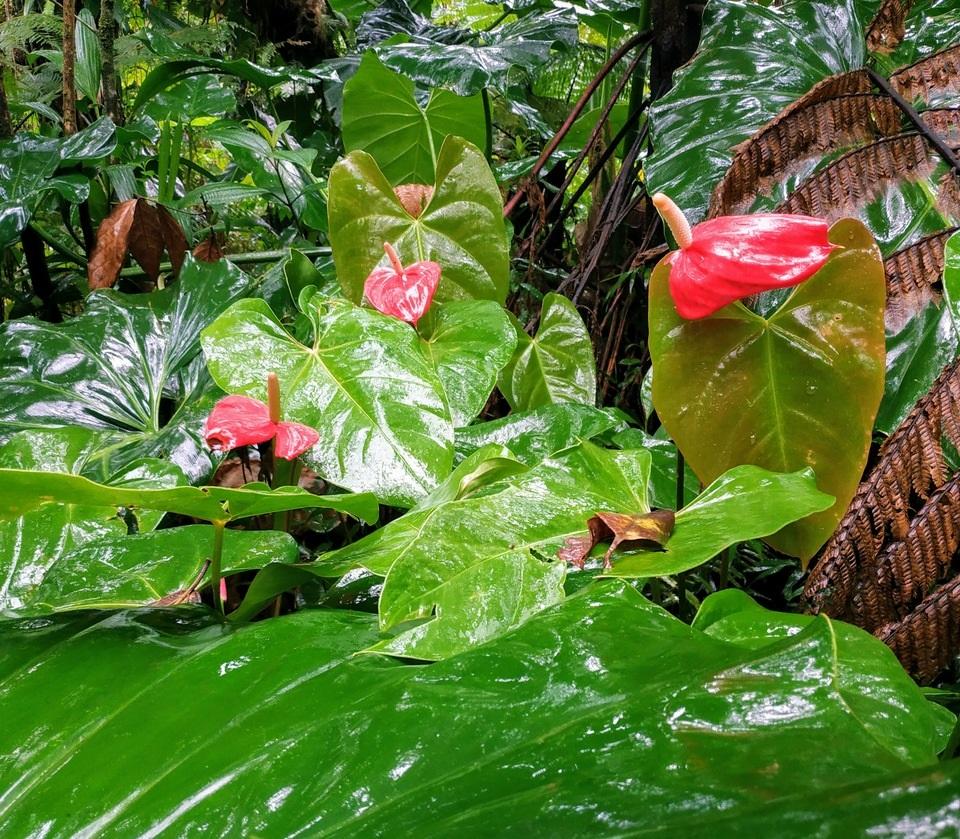 La forêt tropicale de guadeloupe.