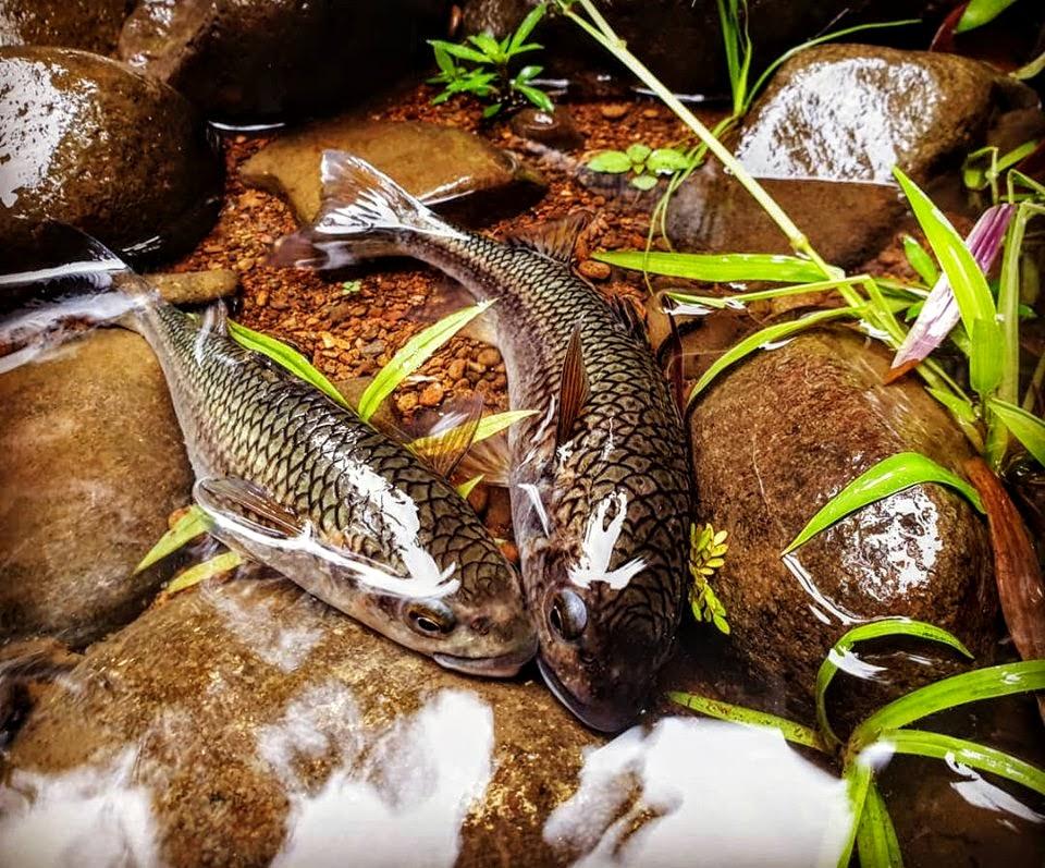 Les poissons de Guadeloupe : les mulets montagne.