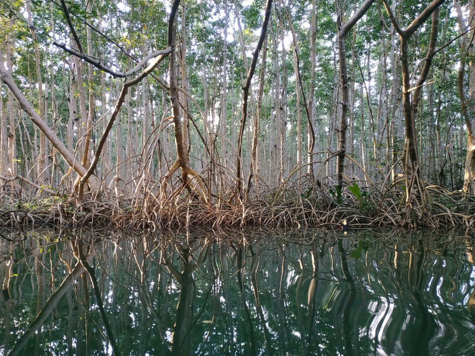 La mangrove de Guadeloupe vue de l'intérieur.