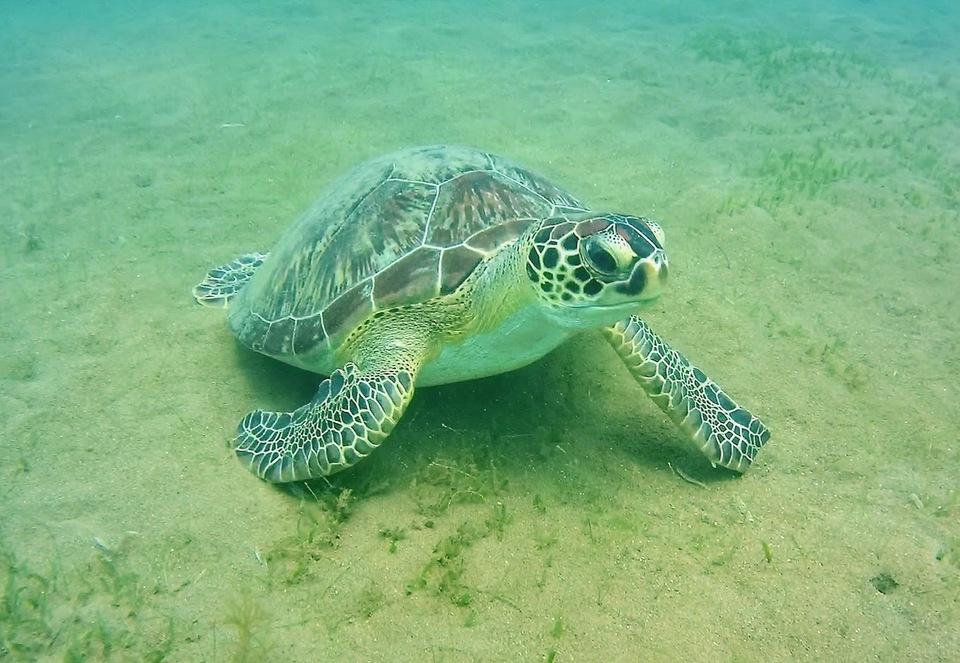 Une tortue verte.
